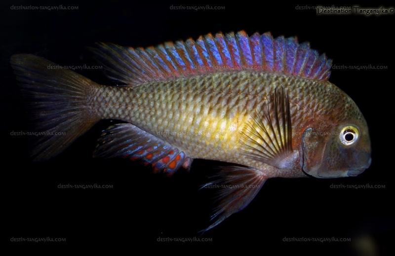 Tropheus Moorii Kambwimba Red Rainbow